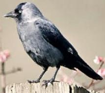 Die Dohle (Corvus monedula) ist einer der kleinsten Vertreter aus der Gattung der Raben und Krähen.